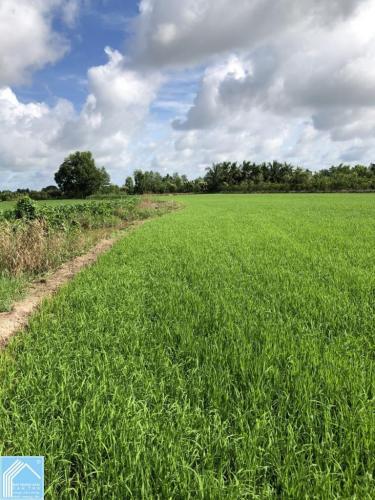 Đất ruộng Phước Thới Ô Môn 3455m2 giá rẻ cập Kênh Thủy Lợi